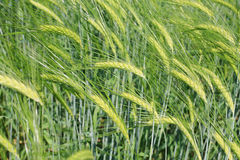 Barley. In a green field Stock Photo