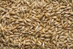 Free Barley Royalty Free Stock Photos - 2429728