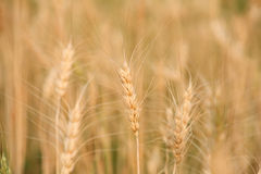 Barley Stock Photography