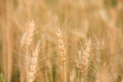 Barley Stock Photography