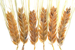 Barley. Branches on white background Royalty Free Stock Image