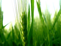 Barley. Spike in the field Royalty Free Stock Images