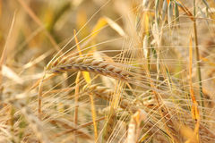 Barley. Rural background: close-up of ripe barley plants ready for harvest Stock Photography