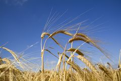 Barley. An ear of ripening barley waving in the breeze against a clear blue summer sky Royalty Free Stock Images