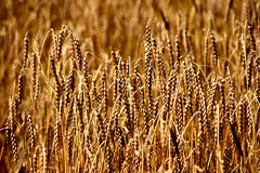 Barley Royalty Free Stock Images