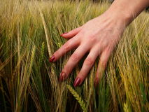 Barley. Female hand on the barley Stock Photos