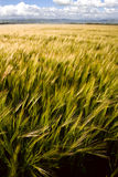 Barley. Crop ripening in summer Royalty Free Stock Photo