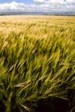 Barley. Crop ripening in summer royalty free stock photo