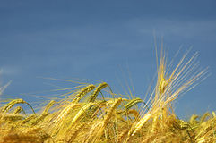Barley. Field in bavaria Royalty Free Stock Photography