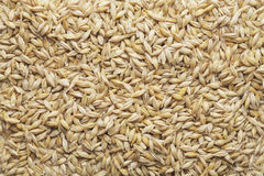 Barley Stock Photos