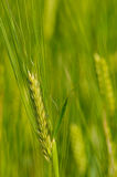 Barley. Close up of a barley spike Royalty Free Stock Images