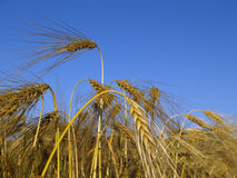 Barley. Ready for harvest Stock Image