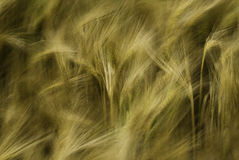 Barley abstract Stock Image