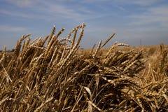 Barley against blue sky Royalty Free Stock Photo