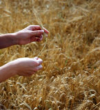 Barley And Hands Stock Images