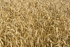 Barley as a background. . Stock Photography