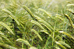 Barley as a background Royalty Free Stock Image