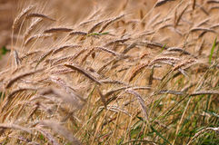 Barley background. Background of the ripe barley in cultivate field Royalty Free Stock Photos