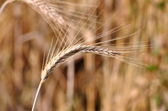 Barley background. Background of the ripe barley in cultivate field Royalty Free Stock Images