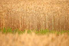 Barley background. Abstract background the barley field Stock Photography