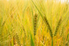 Barley background Stock Photography