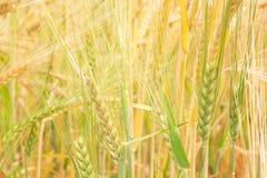 Barley background Stock Photos
