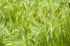 Barley background Royalty Free Stock Photos