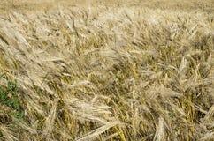 Barley background Royalty Free Stock Images