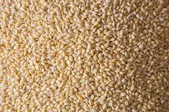 Barley. Seen from close up Royalty Free Stock Photography