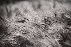 Barley - black and white abstract royalty free stock photo
