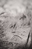 Barley - Black and White abstract stock image