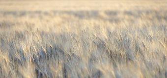 Barley blowing in the wind stock image