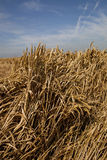 Barley - blue sky Stock Photography