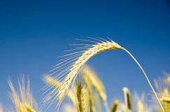 Barley on blue sky. Barley in the field on blue sky Royalty Free Stock Photos