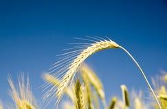 Barley on blue sky Royalty Free Stock Photos