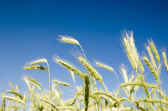 Barley on blue sky Stock Image