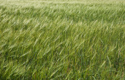 Barley in breeze. Royalty Free Stock Photography