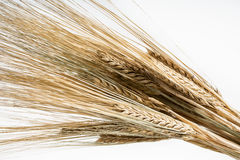 Barley bunch isolated on white background. Grain bouquet Stock Image