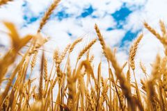 Barley, Cereal, Clouds Stock Images
