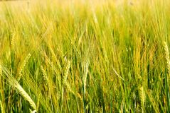 Barley Close up. A background image of yellow barley field Stock Images