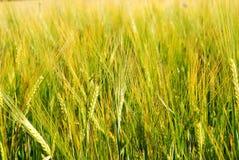 Barley Close up Stock Images