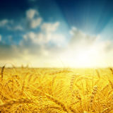Barley close up and sunset Royalty Free Stock Images