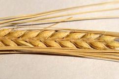 Barley. Closeup on the head of Barley stock photos