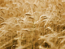Barley Cornfield. Stock Images