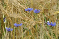 Barley with cornflower Royalty Free Stock Image