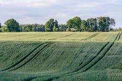 Barley corns field Stock Image
