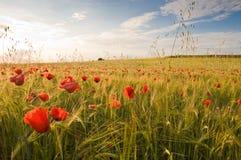 Barley crop Stock Photography