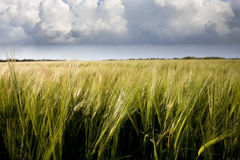 Barley Crop Royalty Free Stock Photo