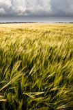 Barley Crop. Barley harvest ripening in mid-summer Royalty Free Stock Images