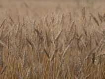 Barley crop background royalty free stock image